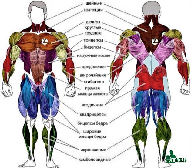 http://img.fitnes.lv/2/body_muscle_29877.jpg