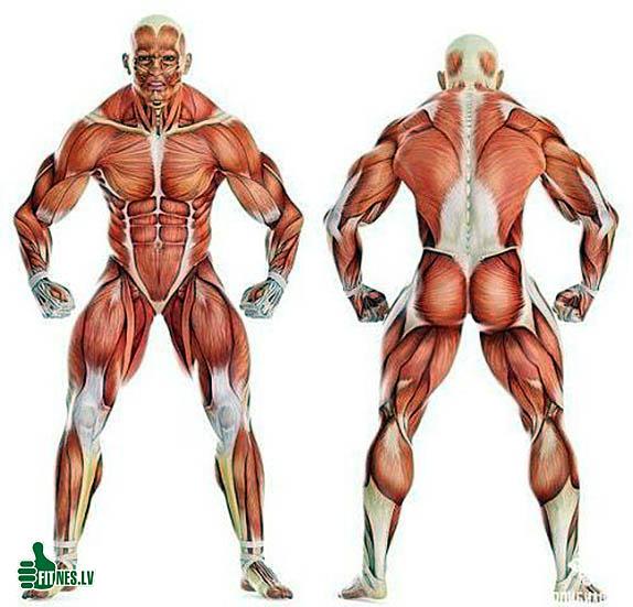http://img.fitnes.lv/2/bodybuilding_556892573691.jpg