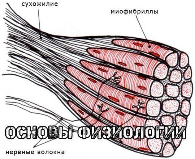 http://img.fitnes.lv/2/muskul_928276253.jpg