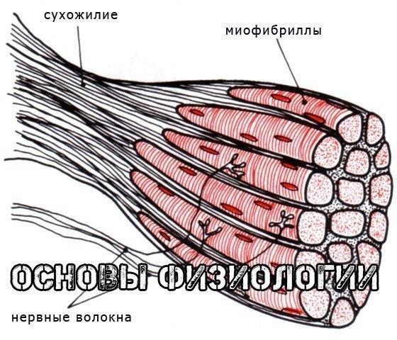 http://img.fitnes.lv/2/muskuli_930958035.jpg