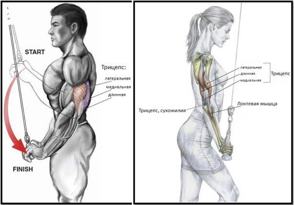 http://img.fitnes.lv/2/triceps_272882772.jpg
